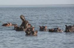 Les hippopotames du Lac Maga