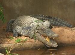 Zoo de Garoua, un crocodile