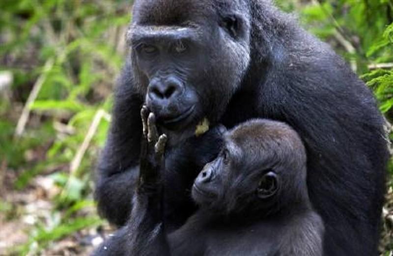 Mengamé, sanctuaire aux gorilles
