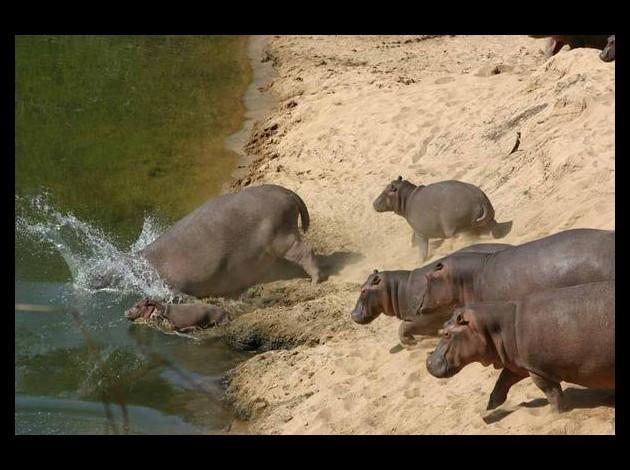 hippopotames2
