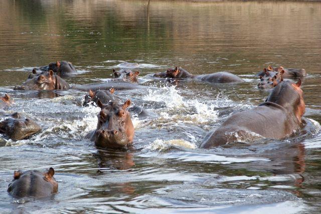 hippopotames4