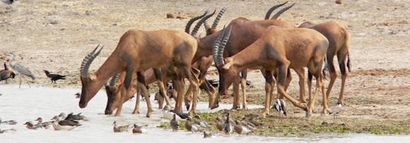 Parc de Waza - Antilopes