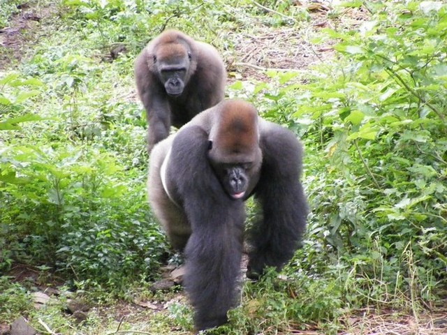 Mengame, sanctuaire aux gorilles
