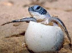 Eclosion d'une tortue